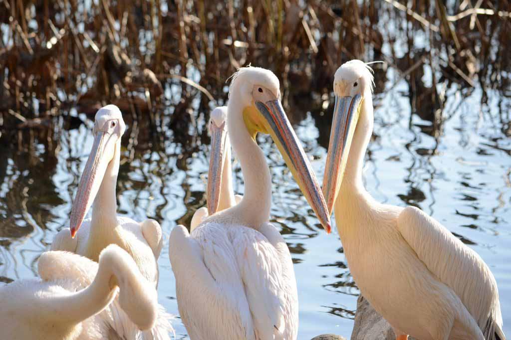pelican-feeding-london